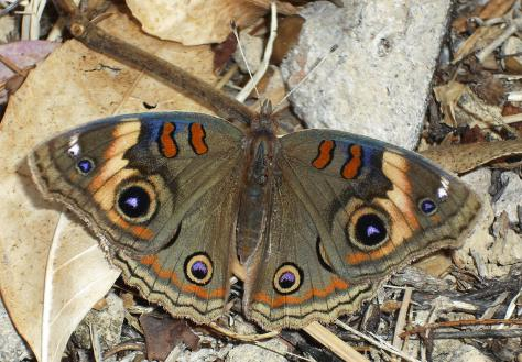Junonia sp. (evarete?). March 10.